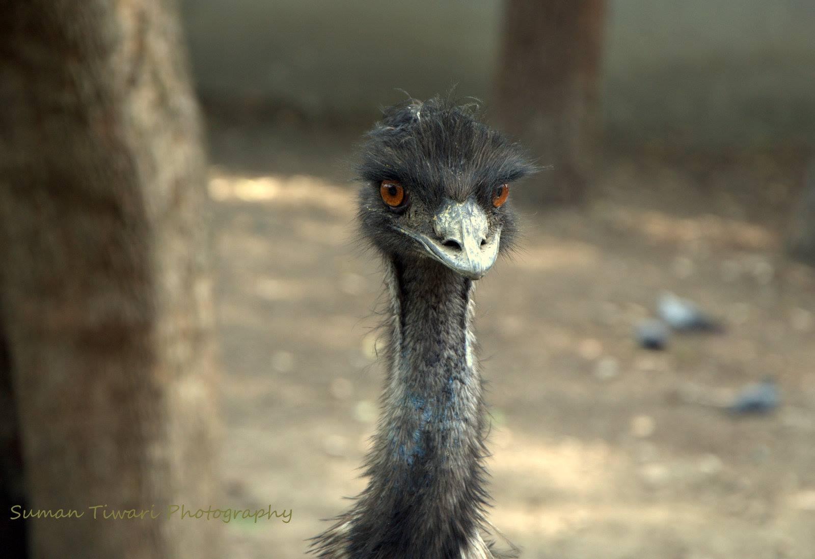 EMU Bird Farming_Suman Tiwari Photography_Zeynep Didem Akinoglu